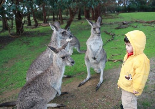 phillip-island-wildlife